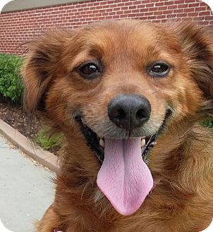 Papillon/Dachshund Mix Dog for adoption in Winder, Georgia - Ceaser