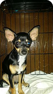 Miniature Pinscher/Chihuahua Mix Puppy for adoption in Fullerton, California - Mini