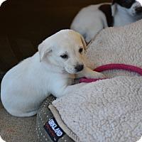 Adopt A Pet :: Cleo - Groton, MA
