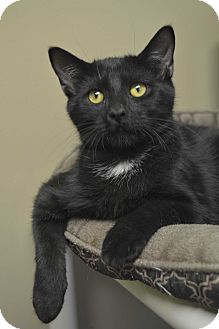 Domestic Shorthair Kitten for adoption in Germantown, Tennessee - Roo