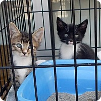 Adopt A Pet :: Marina's Kittens - White Bluff, TN