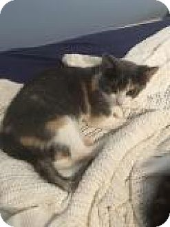 Calico Kitten for adoption in Shelbyville, Kentucky - Leighann