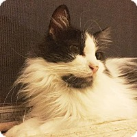 Adopt A Pet :: Pixel - St. Louis, MO