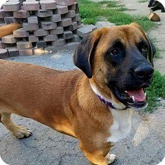 Basset Hound/Mastiff Mix Dog for adoption in Hopewell Junction, New York - Pandora