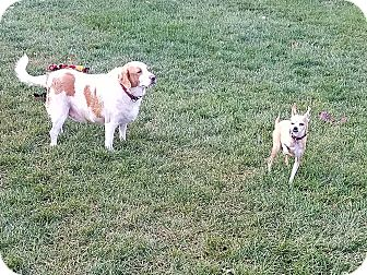 Brittany/Chihuahua Mix Dog for adoption in Indianola, Iowa - Buddy & Rocky