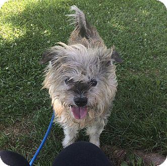 Miniature Schnauzer/Pekingese Mix Dog for adoption in Hendersonville, North Carolina - Grady