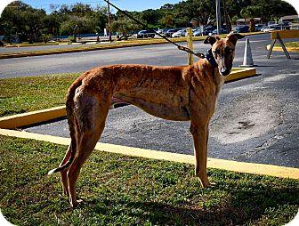 Greyhound Dog for adoption in Sarasota, Florida - Boc's Star Wolf