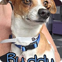 Adopt A Pet :: Buddy - Island Heights, NJ