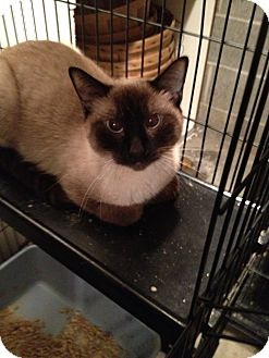 Siamese Cat for adoption in Wenatchee, Washington - Hop