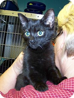 Domestic Shorthair Kitten for adoption in Dover, Ohio - Molly