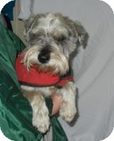 Schnauzer (Miniature) Dog for adoption in Antioch, Illinois - Doogie  ADOPTED!!