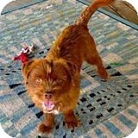 Adopt A Pet :: Chewbacca - Austin, TX