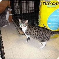 Domestic Shorthair Cat for adoption in Baton Rouge, Louisiana - Regina