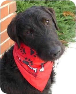 ... | Adopted Dog | Upland, CA | Airedale Terrier/Labrador Retriever Mix