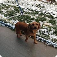 Adopt A Pet :: Goldie - Seattle, WA