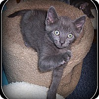 Adopt A Pet :: Champ - A FANTASTIC KITTEN!! - South Plainfield, NJ