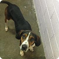 Adopt A Pet :: Opie - Erwin, TN