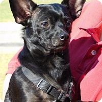 Adopt A Pet :: Boots(9 lb) Perfect Family Pet - Sussex, NJ