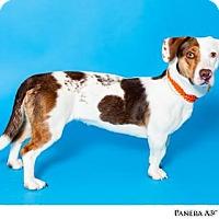 Adopt A Pet :: PANERA - Reno, NV