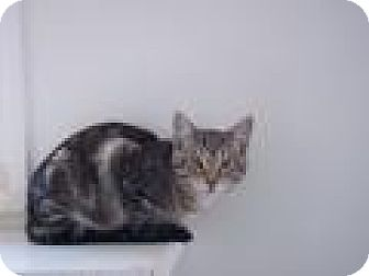 Domestic Shorthair Cat for adoption in Ashland, Ohio - Finn
