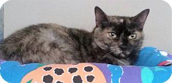 Domestic Shorthair Cat for adoption in Pottsville, Pennsylvania - Bella