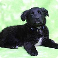 Adopt A Pet :: GASTON - Westminster, CO