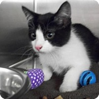 Adopt A Pet :: Zorro *CL* - Independence, MO