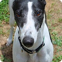 Greyhound Dog for adoption in Randleman, North Carolina - Feeny