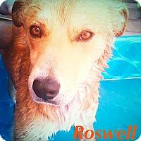 Adopt A Pet :: ROSWELL - Loves Kids! - Chandler, AZ