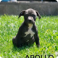 Adopt A Pet :: Apollo (god of sun) - Sacramento, CA