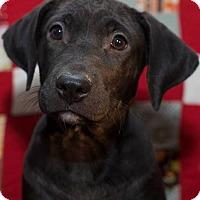 Adopt A Pet :: Molly - Jay, NY