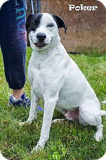 Pointer Mix Dog for adoption in Ringwood, New Jersey - Poker
