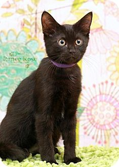 Domestic Shorthair Kitten for adoption in Sterling Heights, Michigan - Hyatt