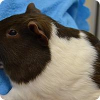 Adopt A Pet :: Chocolate - Michigan City, IN
