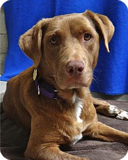 Labrador Retriever Mix Dog for adoption in Seal Beach, California - Kelsey