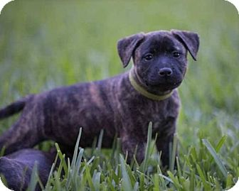 Black Mouth Cur Mix Puppy for adoption in Lithia, Florida - Mia Pup Kyra-16 ADOPTION PENDING