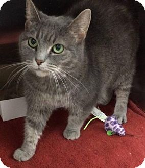 Domestic Shorthair Cat for adoption in Mount Airy, North Carolina - Smokey