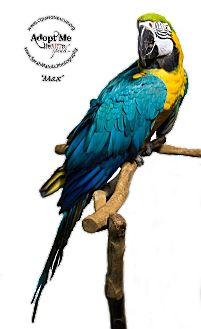 Macaw for adoption in Stratford, Connecticut - Max