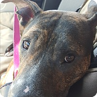 Australian Cattle Dog/American Staffordshire Terrier Mix Dog for adoption in Jacksonville Beach, Florida - Maggie