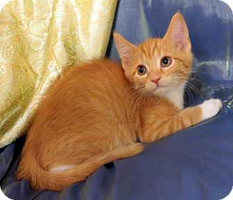 Domestic Shorthair Kitten for adoption in St. Louis, Missouri - Jack