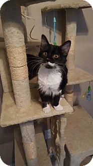 Domestic Longhair Kitten for adoption in San Tan Valley, Arizona - Maggie