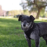 Pomeranian/Terrier (Unknown Type, Small) Mix Dog for adoption in Los Angeles, California - Misha