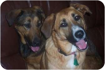 German Shepherd Dog Mix Dog for adoption in New Boston, New Hampshire - Sadie & Rosie~ Essex Jct.,VT