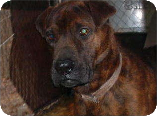 Shar Pei Mix Dog for adoption in Metamora, Indiana - Taylor