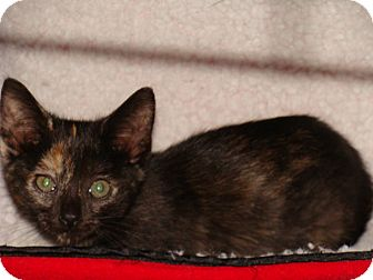 Domestic Shorthair Kitten for adoption in Spotsylvania, Virginia - Carley