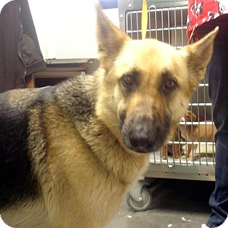 German Shepherd Dog Dog for adoption in baltimore, Maryland - Miley