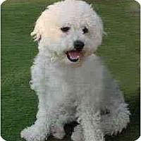 Adopt A Pet :: Davey the Darling - La Costa, CA
