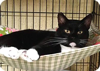 Domestic Shorthair Cat for adoption in Maryville, Tennessee - Watson