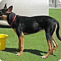 Adopt A Pet :: Athena - white settlment, TX