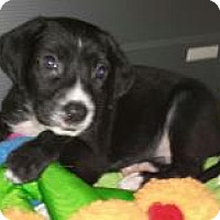 Adopt A Pet :: Baby Bruno - Marlton, NJ